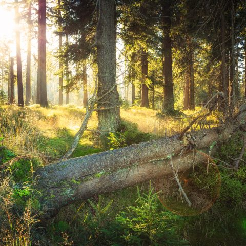 CC BY-ND 2.0 Olli Henze Wald mit Lichteinfall auf abgestorbenen Baum